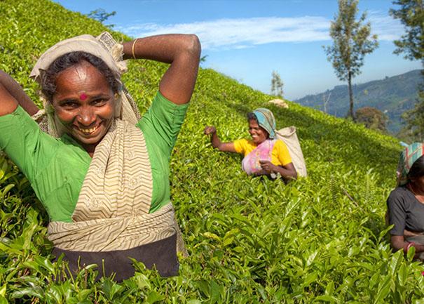 """Résultat de recherche d'images pour """"tea estate sri lanka"""""""